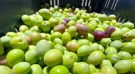 olive calabria