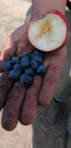 Mirtilli e mele dello Zomaro