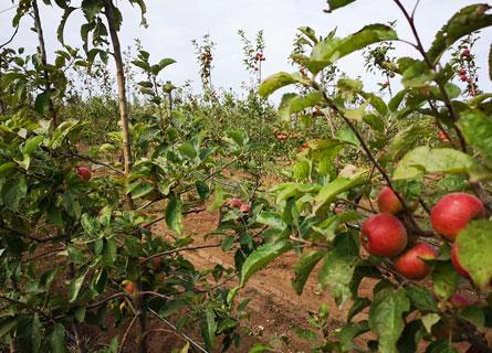 Le mele dello Zomaro, in Aspromonte